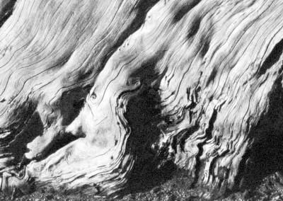 Edward Weston, Cypress - Galerie Stephen Hoffman - Munich