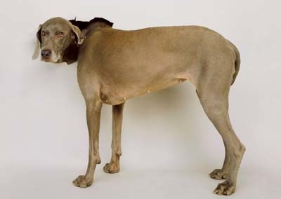 William Wegman, Weimaraner 10 - Galerie Stephen Hoffman - Muenchen