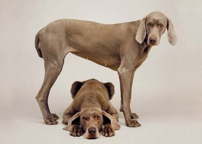 William Wegman, Weimaraner 11 - Galerie Stephen Hoffman - Muenchen