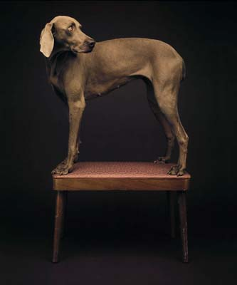 William Wegman, Weimaraner 13 - Galerie Stephen Hoffman - Muenchen