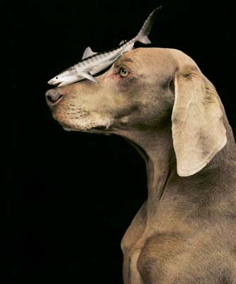 William Wegman, Weimaraner 18 - Galerie Stephen Hoffman - Muenchen
