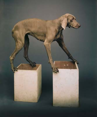 William Wegman, Weimaraner 2 - Galerie Stephen Hoffman - Muenchen
