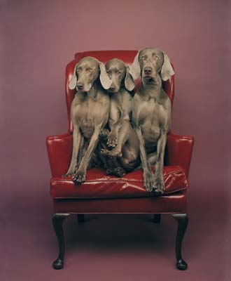 William Wegman, Weimaraner 24 - Galerie Stephen Hoffman - Muenchen