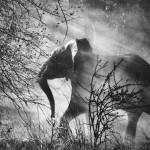 Sebastião Salgado, Elefant (Loxodonta africana), Kafue-nationalpark, Sambia, 2010, Galerie Stephen Hoffman, München
