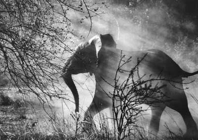 Sebastiao Salgado, Elephant