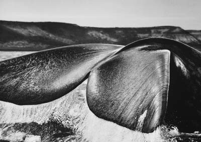 Sebastião Salgado, Südliche Glattwale (Eubalaena australis) Halbinsel Valdés, Argentinien, 2004, GSH Galerie Stephen Hoffman, München