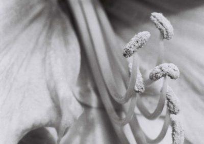 Jan-Oliver Wenzel, Amaryllis I 2001