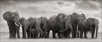 GSH Nick Brandt, Elephant Group on bare earth