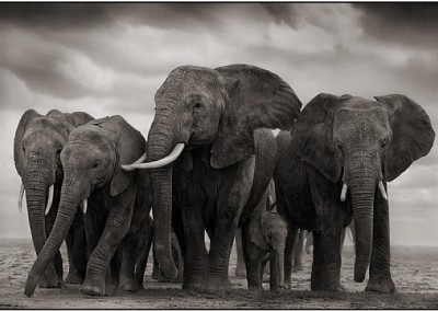 GSH Nick Brandt, Elephant five