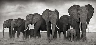 GSH Nick Brandt, elephants resting