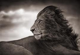 GSH Nick Brandt, lion before storm_close up