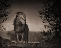 GSH Nick Brandt, lion before storm_standing