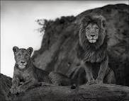 GSH Nick Brandt, lion couple on rock