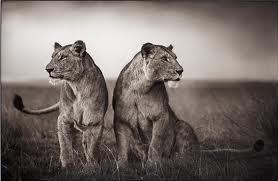 GSH Nick Brandt, lionesses readying to hunt