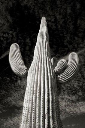 Cara Weston, Cactus 1